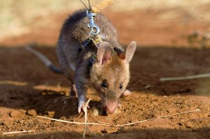 Land mine detecting rats are trained in Tanzania to clear large areas.
