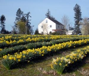 Amity, Oregon Daffodil Farm House